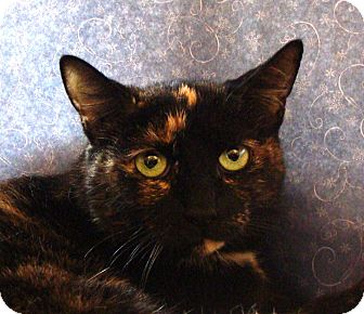 Domestic Shorthair Cat for adoption in Albany, New York - Sweet Pea
