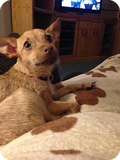 Chihuahua Puppy for adoption in Laingsburg, Michigan - Daisy