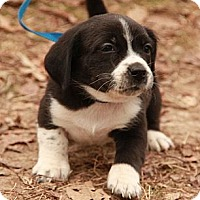 Adopt A Pet :: Rhiannon (SG) - Brattleboro, VT