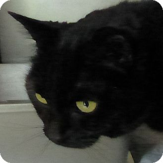 Domestic Shorthair Cat for adoption in Port Angeles, Washington - Minnie Pearl