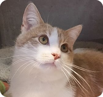 Domestic Shorthair Cat for adoption in Concord, Ohio - Paulie