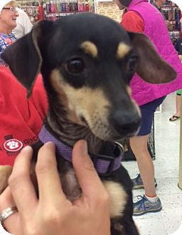 Dachshund Mix Dog for adoption in Fort Collins, Colorado - Kizzie