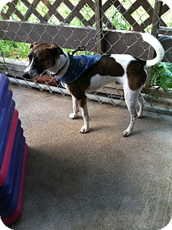 Jack Russell Terrier/Fox Terrier (Toy) Mix Dog for adoption in West Burlington, Pennsylvania - Finnlee