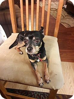 Chihuahua Mix Dog for adoption in Minnetonka, Minnesota - Pepe'