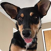 Australian Kelpie/German Shepherd Dog Mix Dog for adoption in Grand Canyon Village, Arizona - Asher