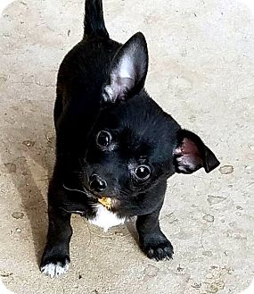 Chihuahua Mix Puppy for adoption in Tijeras, New Mexico - Beau