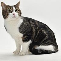 Domestic Mediumhair Cat for adoption in Burbank, California - CAPTAIN  KIRK