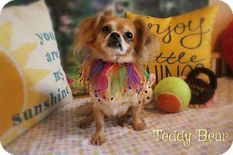 Chihuahua Mix Dog for adoption in Benton, Louisiana - Teddy Bear
