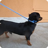 Adopt A Pet :: Bear - Moreno Valley, CA