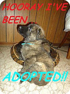 Shepherd (Unknown Type)/Shepherd (Unknown Type) Mix Puppy for adoption in Toronto/Etobicoke/GTA, Ontario - BurtonADOPTED
