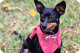 Chihuahua Mix Dog for adoption in hollywood, Florida - Bizzy