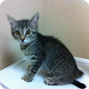 Domestic Shorthair Kitten for adoption in Gilbert, Arizona - Emma