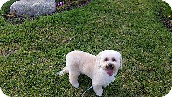 Poodle (Miniature) Dog for adoption in Santa Ana, California - Rufus