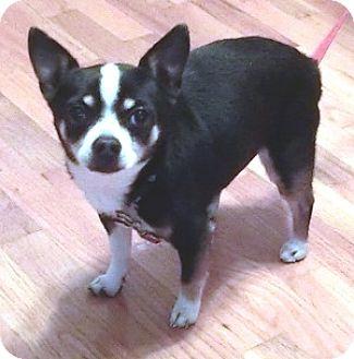Chihuahua Dog for adoption in Dowagiac, Michigan - GIZMO
