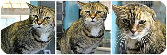 Domestic Shorthair Cat for adoption in Forked River, New Jersey - Pocohantis
