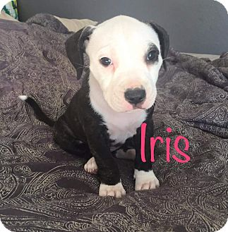 Boxer/Hound (Unknown Type) Mix Puppy for adoption in Concord, California - Iris