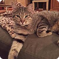Adopt A Pet :: Squanto - Merrifield, VA