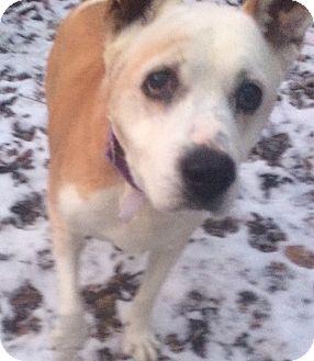 Bull Terrier/German Shepherd Dog Mix Dog for adoption in Oak Ridge, New Jersey - Haley