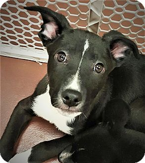 Border Collie/Pit Bull Terrier Mix Puppy for adoption in Salem, Oregon - White Paw