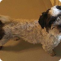 Havanese Mix Dog for adoption in Woodstock, Georgia - Domino