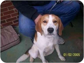 Treeing Walker Coonhound/St. Bernard Mix Puppy for adoption in HOBOKEN, Georgia - Bentley