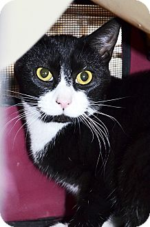 Domestic Shorthair Cat for adoption in Xenia, Ohio - Whitney