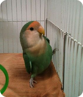 Lovebird for adoption in Lenexa, Kansas - Bam Bam