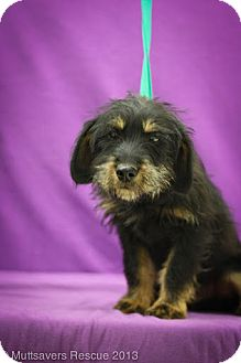 Dachshund/Terrier (Unknown Type, Small) Mix Puppy for adoption in Broomfield, Colorado - Patron