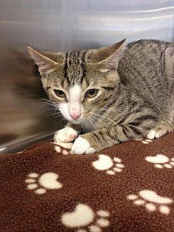 Domestic Shorthair Cat for adoption in Whitehall, Pennsylvania - Spike