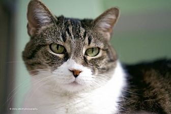 Domestic Shorthair Cat for adoption in Tucson, Arizona - Peebles