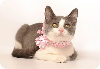 Domestic Shorthair Cat for adoption in Wyandotte, Michigan - Keira