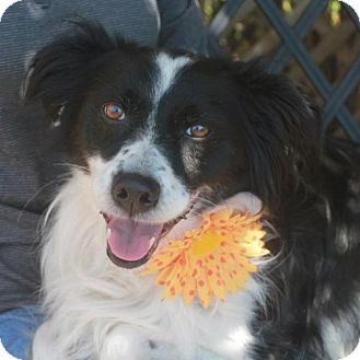 Border Collie Dog for adoption in Garfield Heights, Ohio - Brooklyn-ADOPTED!