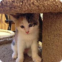 Adopt A Pet :: Polly - Bridgeton, MO