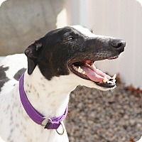 Adopt A Pet :: Diamond - Ware, MA