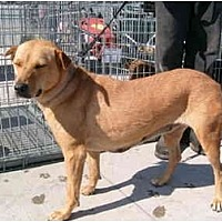 Shepherd (Unknown Type)/Labrador Retriever Mix Dog for adoption in Anton, Texas - Nona