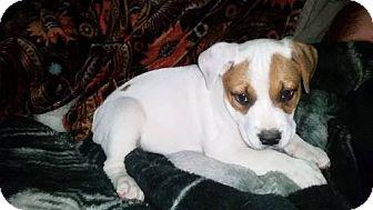 Staffordshire Bull Terrier Mix Dog for adoption in San Antonio, Texas - A408186/5 Deadpool