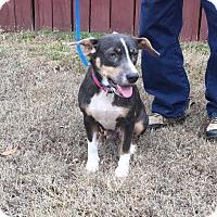 Adopt A Pet :: Adelaide - Washington, DC