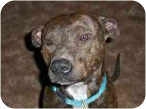 American Pit Bull Terrier Dog for adoption in Emory, Texas - Adam