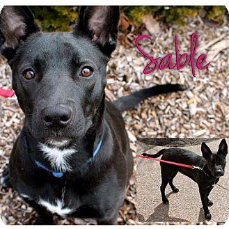 German Shepherd Dog/American Pit Bull Terrier Mix Dog for adoption in Garden City, Michigan - Sable