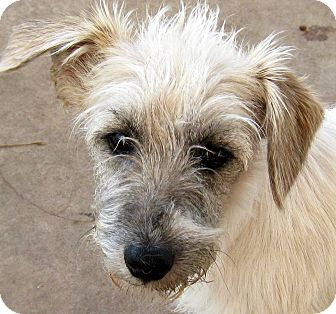 Poodle (Miniature)/Jack Russell Terrier Mix Puppy for adoption in Oakley, California - Reggie