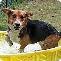 Adopt A Pet :: Sox - Murfreesboro, TN