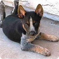 Adopt A Pet :: Cobra *ADOPTION PENDING* - Phoenix, AZ