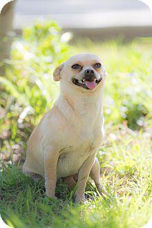Chihuahua Mix Dog for adoption in Corona, California - Dora