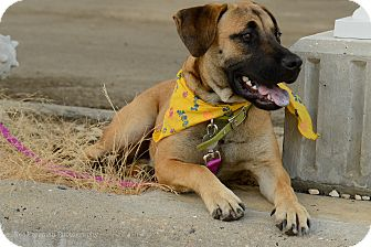 Mastiff/Labrador Retriever Mix Dog for adoption in Muldrow, Oklahoma - Shep