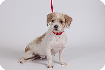 Terrier (Unknown Type, Medium) Mix Puppy for adoption in Jupiter, Florida - Hannah