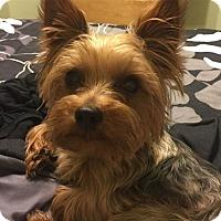 Adopt A Pet :: Lil Dude - Lorain, OH
