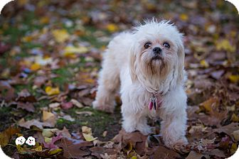 Shih Tzu/Maltese Mix Dog for adoption in Astoria, New York - Hope: Adoption Pending