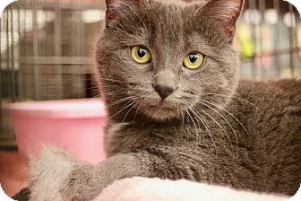 Manx Kitten for adoption in Cerritos, California - Annabel