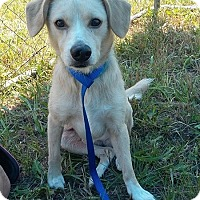 Labrador Retriever/Terrier (Unknown Type, Medium) Mix Dog for adoption in Huntington, Indiana - Harvey Dent