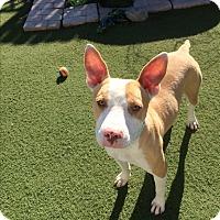 Adopt A Pet :: Rusty - Brea, CA